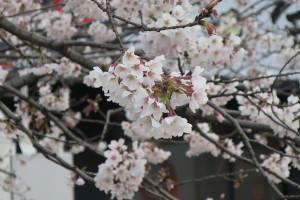 熊本も桜が見ごろの季節になりました!