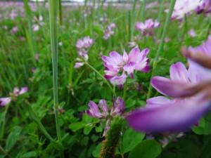れんげの花畑が一面にきれいです。 気持ちがリフレッシュできて、頑張ろうと思うことができます。