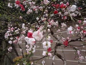 桜、ですよね…?