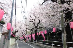 染井吉野発祥の地の桜です。東京本店から徒歩7分くらいです。毎年楽しみにしております!